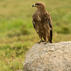 Tawny eagle (Aquila rapax)