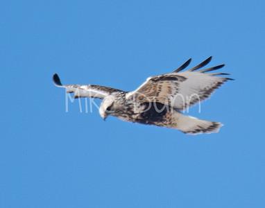 Rough-legged Hawk-21