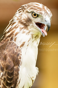 Red Tail Hawk - Brown Background