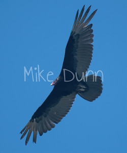 Turkey Vulture-2
