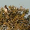Black-Chested Snake Eagle