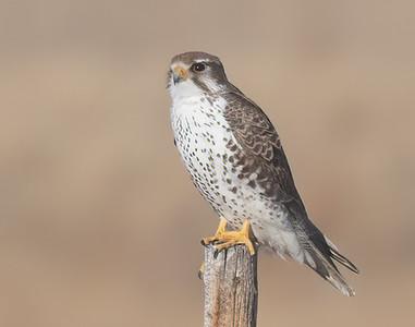 Prairie Falcon-51