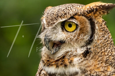 Simon the Great Horned Owl