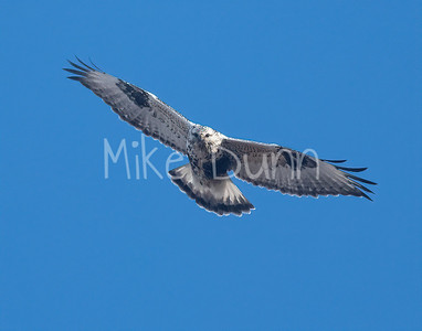 Rough-legged Hawk-37