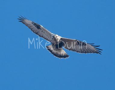 Rough-legged Hawk-37