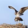Ospreys Mating on Nest in Central Florida