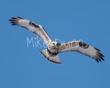Rough-legged Hawk-17
