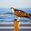 Osprey eating fish at New Smyrna Beach, Florida