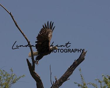 Salt River Eagle