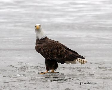 Bald Eagle on Ice