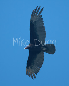 Turkey Vulture-3