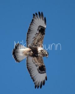 Rough-legged Hawk-19