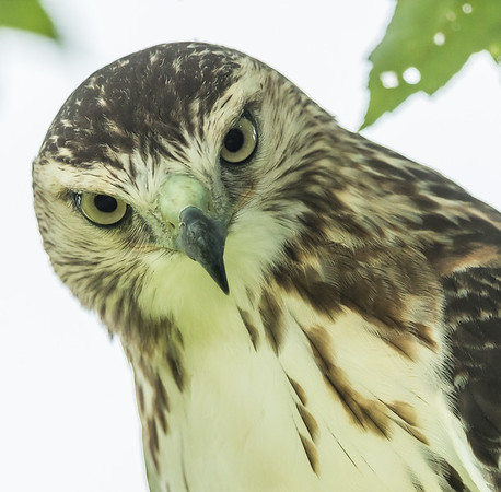 Redtailed Hawk 2