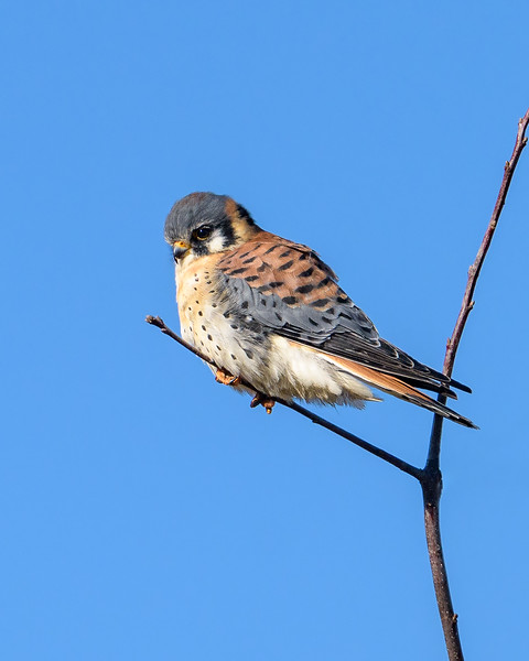 Americam Kestral - Assateague  2018