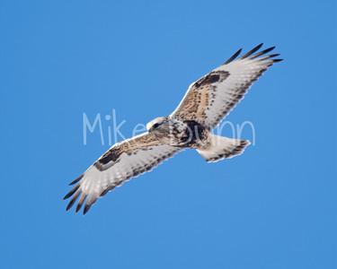 Rough-legged Hawk-25