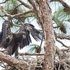 Two fledgling eagles on nest in Orlando, FL