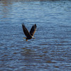 Eagle on Lake with Fish