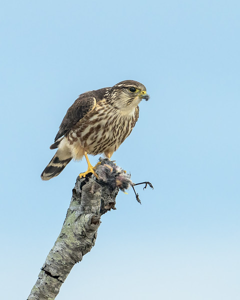 Merlin with an unlucky Yellow-rumped Warbler - Assateague 2 / 2018