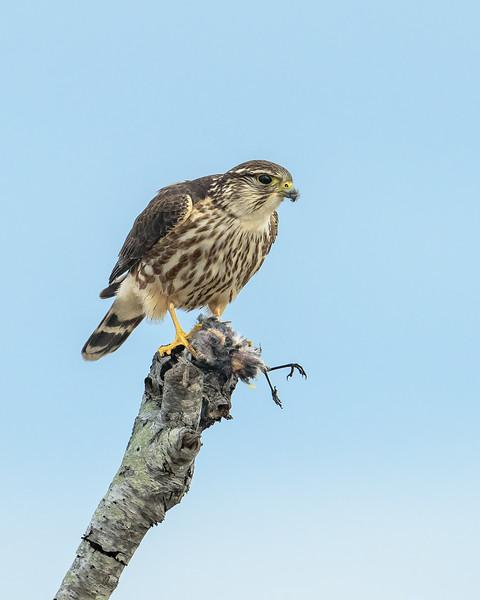 Merlin with an unlucky Yellow-rumped Warbler - Assateague 2 / 2018
