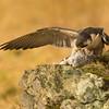 Peregrine falcon (Falco peregrinus
