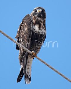 Rough-legged Hawk-10