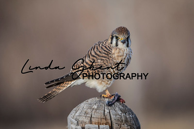 Kestrel with Dinner #2