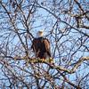 Bald Eagle Across the Lake
