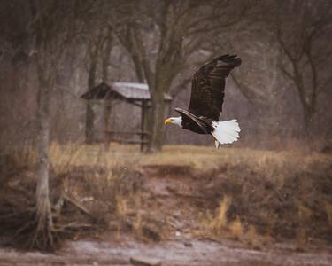 Bald Eagle in IA