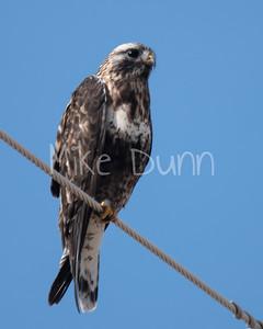 Rough-legged Hawk-11