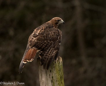 red tail at CRC 2 (1 of 1)