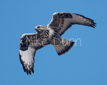 Rough-legged Hawk-36