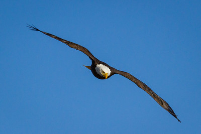 Swooping Bald Eagle