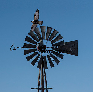 Windmill Hawk #3