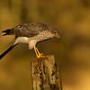 Sparrowhawk (Accipiter nisus)