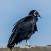 Black Vulture at Big Oaks National Wildlife Refuge in Indiana