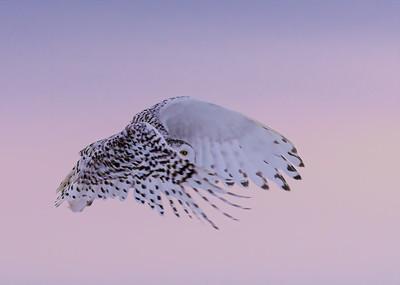 Snowy owl showing one eye