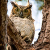 Great Horned Owl in my yard
