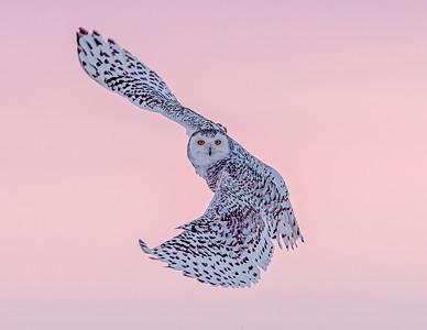 Snowy Owl at sunrise