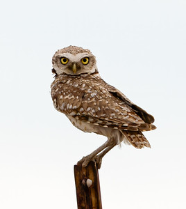 Burrowing Owl on a post