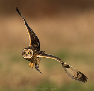 Short Eared Owl after takeoff