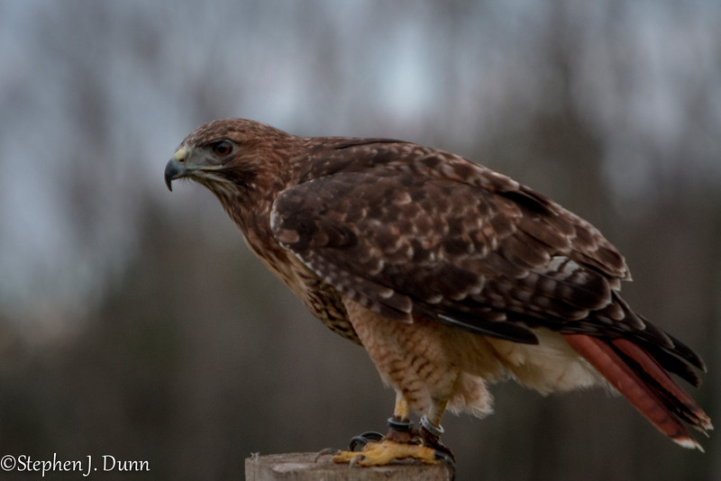 red tail at CRC (1 of 1)