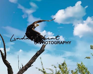 Salt River Eagle Take Off