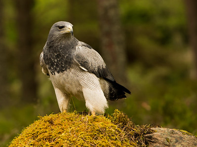 Black-chested buzzard-eagle (Geranoaetus melanoleucus)