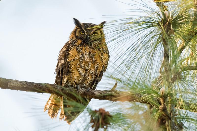 Great Horned Owl - Deltona, FL