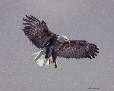 Bald Eagle Descent