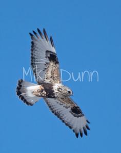 Rough-legged Hawk-15