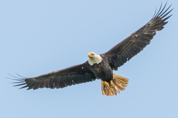 Bald Eagle Wingspread