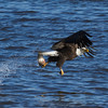 Bald Eagle with Snagged Fish