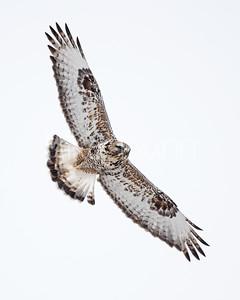 Rough-legged Hawk-39