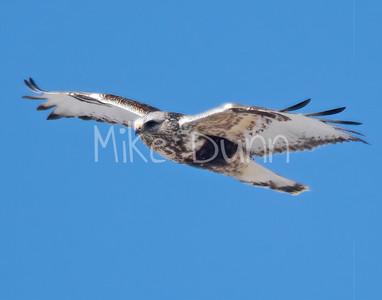 Rough-legged Hawk-22